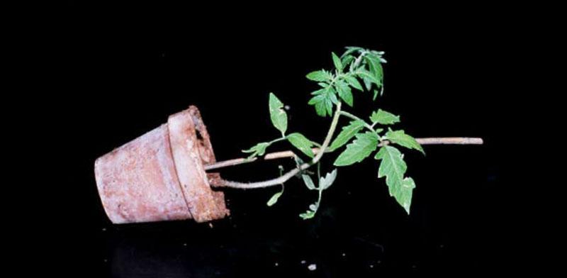tomatosphere tomatosph re tropisme chez les plantes. Black Bedroom Furniture Sets. Home Design Ideas